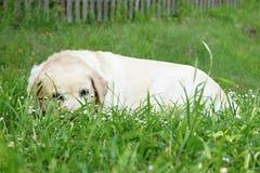 Perro perdiguero de Labrador en hierba Imagenes de archivo