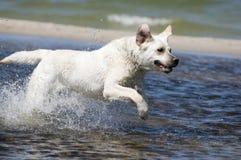 Perro perdiguero de Labrador en la acción Imagenes de archivo