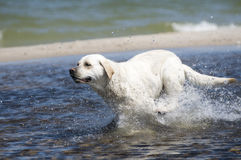 Perro perdiguero de Labrador en la acción Fotos de archivo libres de regalías