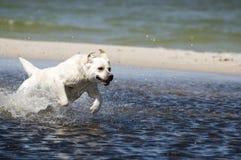 Perro perdiguero de Labrador en la acción Fotografía de archivo