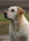 Perro perdiguero de Labrador inglés Imagenes de archivo