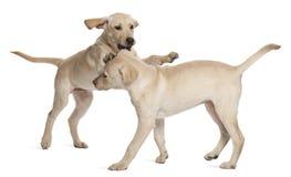Perro perdiguero de Labrador joven, 4 meses Fotos de archivo libres de regalías
