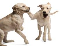 Perro perdiguero de Labrador joven, 4 meses Foto de archivo libre de regalías