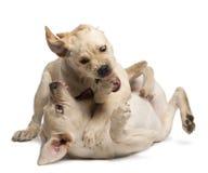Perro perdiguero de Labrador joven, 4 meses Fotografía de archivo libre de regalías