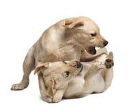 Perro perdiguero de Labrador joven, 4 meses Imágenes de archivo libres de regalías