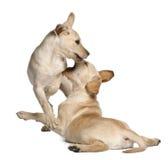 Perro perdiguero de Labrador joven, 4 meses Fotografía de archivo