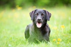 Perro perdiguero de Labrador negro Imágenes de archivo libres de regalías