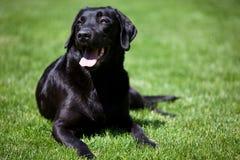 Perro perdiguero de Labrador negro foto de archivo libre de regalías