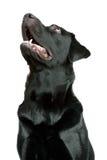 Perro perdiguero de Labrador negro imagen de archivo libre de regalías