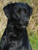 Perro perdiguero de Labrador negro fotografía de archivo