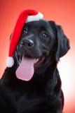 Perro perdiguero de Labrador negro que desgasta el casquillo rojo de santa Imagen de archivo