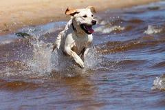 Perro perdiguero de Labrador que se ejecuta y que salpica en agua Imagenes de archivo