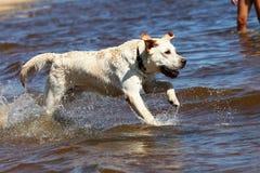 Perro perdiguero de Labrador que se ejecuta y que salpica en agua Imágenes de archivo libres de regalías