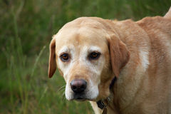 Perro perdiguero de Labrador serio Imagenes de archivo