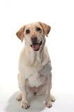 Perro perdiguero de Labrador sonriente en el fondo blanco Foto de archivo libre de regalías