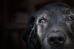 Perro perdiguero de Labrador viejo. Imagen de archivo