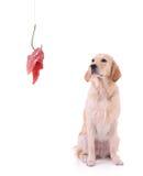 Perro perdiguero de Labrador y un gancho de leva de pesca con la carne Foto de archivo libre de regalías