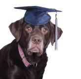 Perro perdiguero de Labradro imágenes de archivo libres de regalías