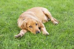 Perro perdiguero de oro Foto de archivo