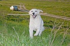 Perro perdiguero de oro 13 Imagen de archivo libre de regalías