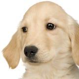 Perro perdiguero de oro (3 meses) Imagen de archivo
