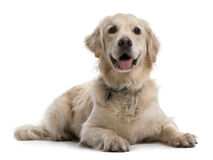 Perro perdiguero de oro, 4 años, mintiendo Foto de archivo libre de regalías