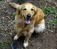 Perro perdiguero de oro 2 Fotografía de archivo