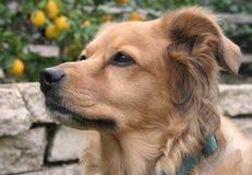 Perro perdiguero de oro Fotos de archivo