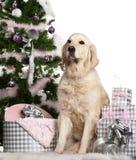 Perro perdiguero de oro, 5 años, sentándose Imagen de archivo libre de regalías