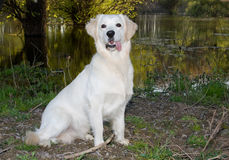 Perro perdiguero de oro 6 Fotos de archivo libres de regalías