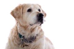Perro perdiguero de oro Fotos de archivo libres de regalías