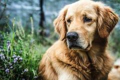 Perro perdiguero de oro Fotografía de archivo