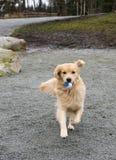 Perro perdiguero de oro foto de archivo libre de regalías