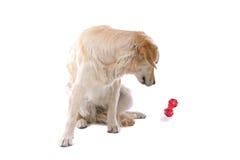 Perro perdiguero de oro con el juguete Foto de archivo libre de regalías
