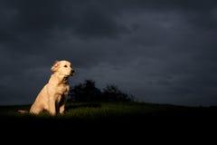 Perro perdiguero de oro con la nube de tormenta Imágenes de archivo libres de regalías