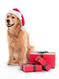 Perro perdiguero de oro de la Navidad imagen de archivo libre de regalías