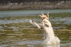 Perro perdiguero de oro de salto Fotos de archivo libres de regalías