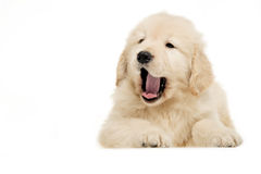 Perro perdiguero de oro del animal doméstico del perro Fotos de archivo
