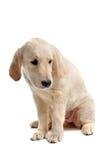 Perro perdiguero de oro del perrito triste Fotografía de archivo