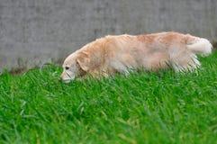 Perro perdiguero de oro del perro Fotografía de archivo