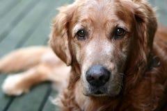 Perro perdiguero de oro del perro Foto de archivo libre de regalías
