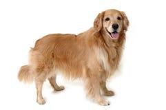 Perro perdiguero de oro derecho Imágenes de archivo libres de regalías