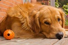 Perro perdiguero de oro después del juego Foto de archivo
