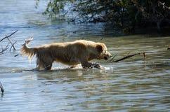 Perro perdiguero de oro en agua Fotos de archivo libres de regalías
