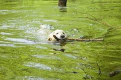 Perro perdiguero de oro en el agua Foto de archivo libre de regalías