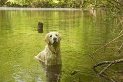 Perro perdiguero de oro en el agua Fotos de archivo libres de regalías