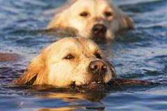 Perro perdiguero de oro en el agua foto de archivo