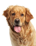 Perro perdiguero de oro en el fondo blanco Imagen de archivo
