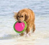 Perro perdiguero de oro en el juego del agua foto de archivo