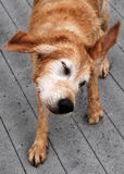 Perro perdiguero de oro en el lago Foto de archivo